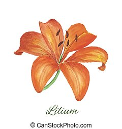 lily watercolor painting on white background