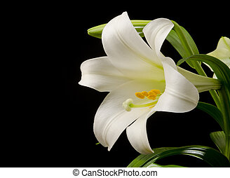 Lily with Large Blossom - Easter lily with a large blossom ...