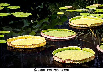 A bunch of lilypads floating on a pond.