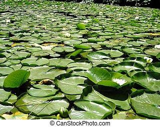 A field of lilypads.