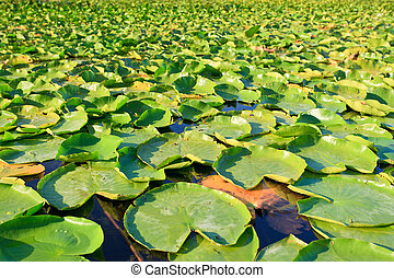 Bright green lilypads floating on a lkae