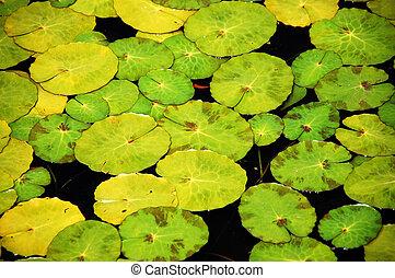 Lilypads in garden pond