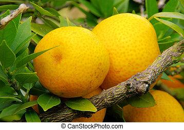limón, en, árbol, 05