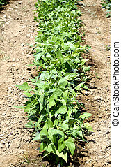 lima, bean, row - Lima beans with green leaves on a healthy...