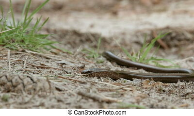 Limbless lizard look like a snake. The Anguis fragilis, or slow worm