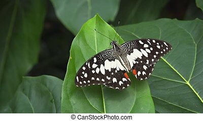 Lime Butterfly on a Leaf with Outstreached Wings. hidef...