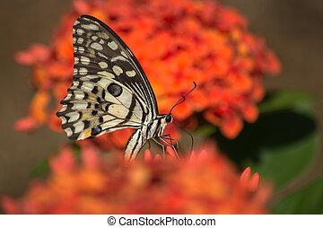 Lime Butterfly on Orange Ixora Flower.