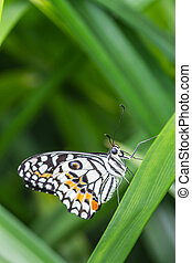 Lime Butterfly (Papilio demoleus malayanus) on green leaf