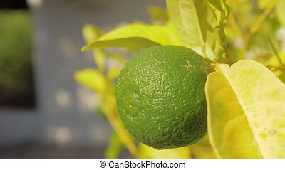 Lime fruit in the tree. Citrus growing - Close-up shot of a...
