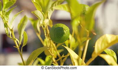 Lime fruit in the tree - Close-up shot of lime fruit growing...