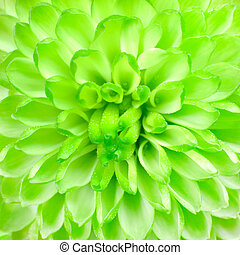 Lime Green Pom Pom Flower Square Background Macro Closeup