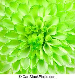 Lime Green Pom Pom Flower Square Background Macro Closeup