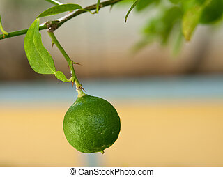 The picture of the lime, growing in the yard