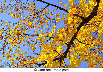 lime tree in fall 01