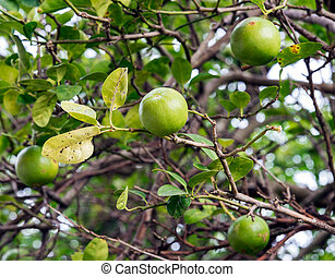 Lime tree in the countryside of Thailand.