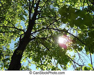 Sunny lime-tree