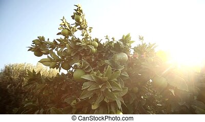Lime Tree - video footage of a Lemon tree in greece