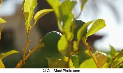 Lime tree with fruit - Close-up shot of lime tree with fruit...