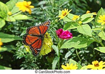 Viceroy butterfly - Limenitis archippus aka Viceroy...