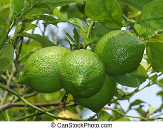 Limes - A group of green limes on the branch of tree