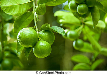 Limes - Close-up shot of a branch bearing large green limes