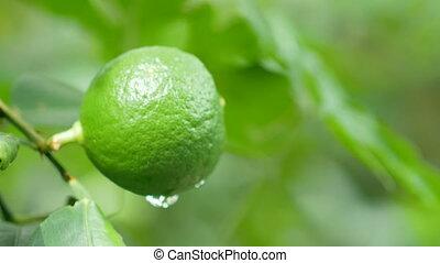 limette, tau, grüner hintergrund, verwischt