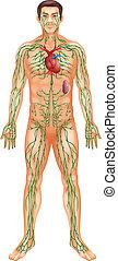 limfatyczny system