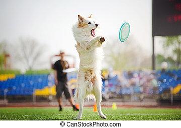 limite collie, cão, pegando, a, disco voador