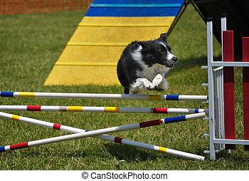 limite collie, pular, sobre, um, pulo duplo, em, cão,...