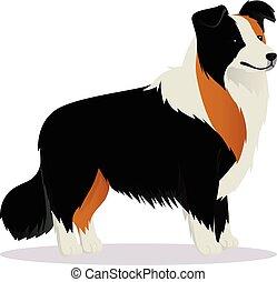 limite collie, tricolor, cão