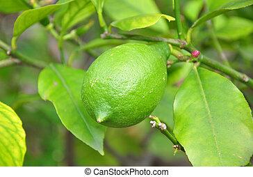 limon), (citrus, zitrone