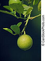 limon, zitrone, c.