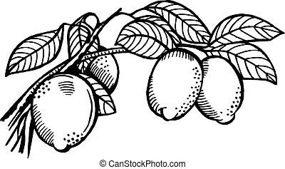 limone, ramo