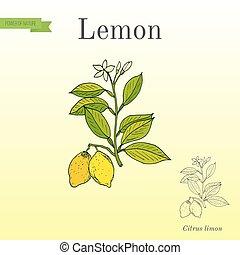 limone, ramo, frutte