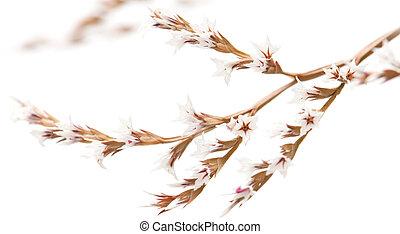 limonium, fleurs blanches, isolé