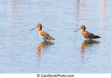 (limosa, godwit, wader, tailed, superficial, negro, aves, ...