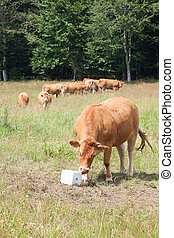 Limousin beef cow eating salt lick mineral supplement