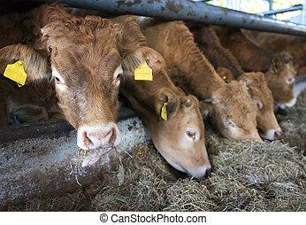 limousin calves feed inside barn on organic farm in holland near utrecht