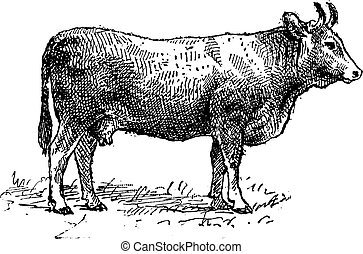 Limousin cattle breed, vintage engraving.