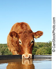A Limousin cow keeps her eye on the camera while drinking, low angle with reflection.