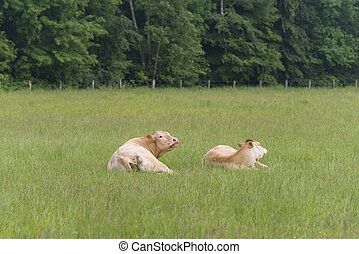 limousine cows in summer
