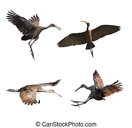 Limpkin birds on white background