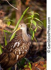 Limpkin wading bird Aramus guarauna in the Corkscrew Swamp...