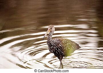 Limpkin wading bird Aramus guarauna in the wetland and marsh...