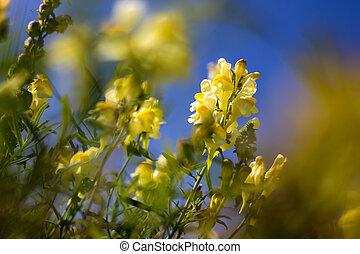 linaria, detail, květ, vulgaris, názor, louka, bylina, yellow-white, -