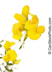 linaria, planta, toadflax, macro, vulgaris