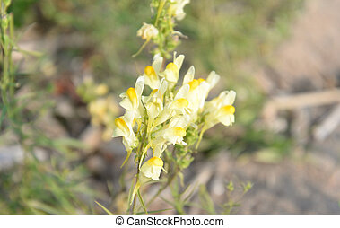 linaria, toadflax, lat., vulgaris., común