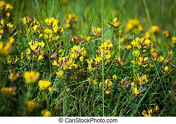 (linaria, vulgaris), toadflax, verde amarillo, salvaje, meado, flores