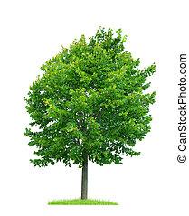 lind, träd