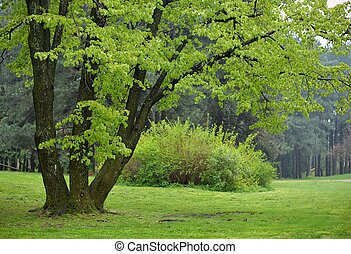 linden, árvore, parque